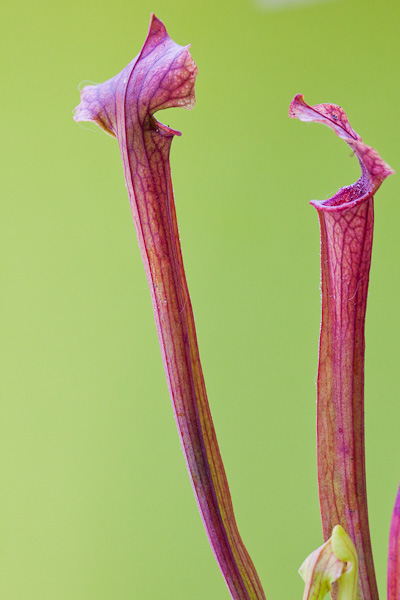 "Young pitchers of Sarracenia ""Reptilian Rose"". North American pitcher plant hybrid."