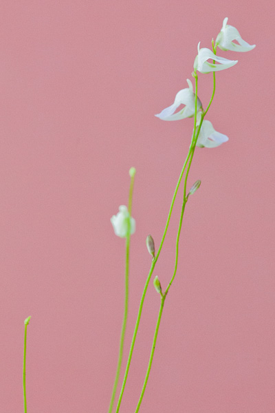 Utricularia livida. A carnivorous bladderwort with tiny, delicate flowers. Click to see more!