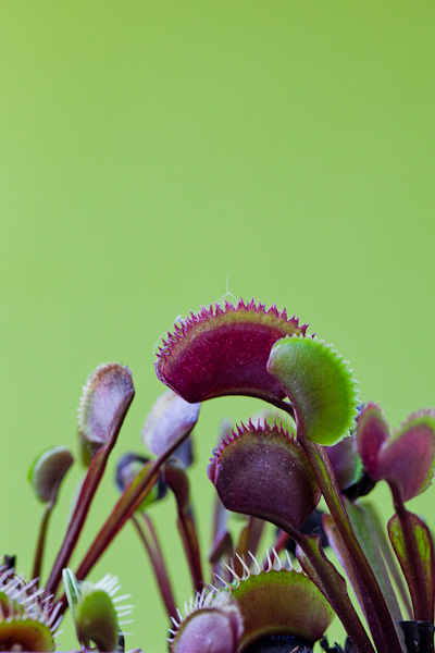 FTS Crimson Sawtooth. A red cultivar of Venus Flytrap with short, jagged teeth. Click to see more!