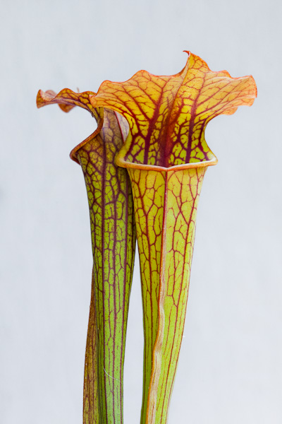 Sarracenia 'Judith Hindle x flava var. atropurpurea is a beautiful carnivorous plant! Available from TheCarnivoreGirl.com!