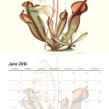 2016 Carnivorous plant calendar, featuring elegant, vintage illustrations of carnivorous plants from around the world. Click to view more images and pre-order yours!