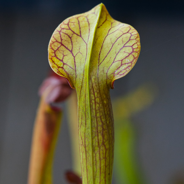 "Sarracenia alata ""Maroon Throat"""
