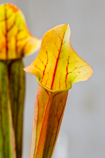 North American pitcher plant, Sarracenia. Unknown hybrid.