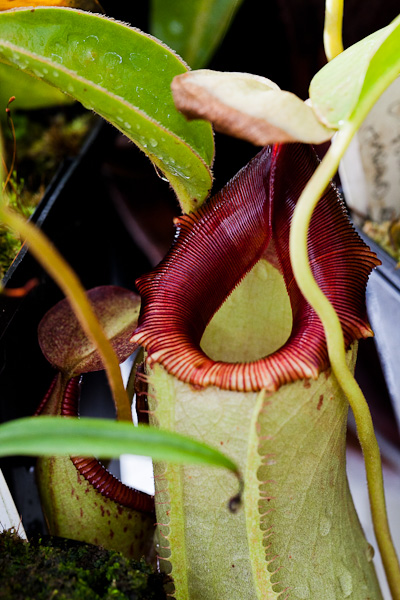 Nepenthes, Asian pitcher plant.