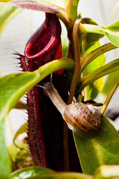 Sarracenia. North American pitcher plant and snail friend.