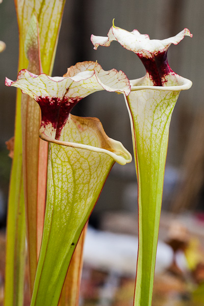 Sarracenia. North American pitcher plant.