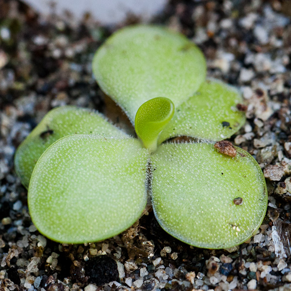 Mexican butterwort (pinguicula). A beautiful, delicate carnivorous plant that becomes a succulent in the winter! Click for more info!