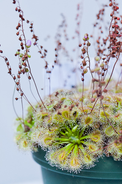 Pygmy sundews are tiny carnivorous plants! Adorable, yet deadly! Click to learn more!