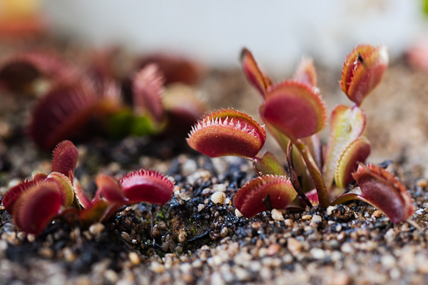 Red Venus flytrap cultivars, click to see more!