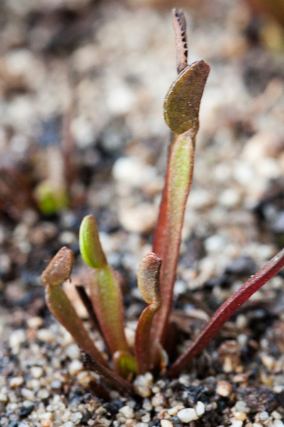 Learn how to treat mite damage on Venus flytraps