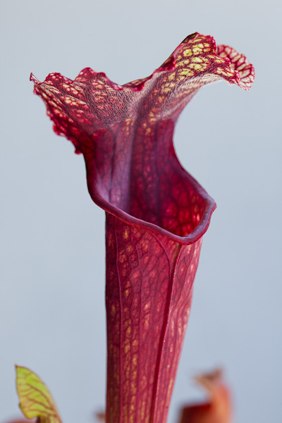 Carnivorous pitcher plant hybrid. Sarracenia Royal Ruby x Judith Hindle.