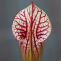 Sarracenia Adrian Slack x Judith Hindle by The Carnivore Girl
