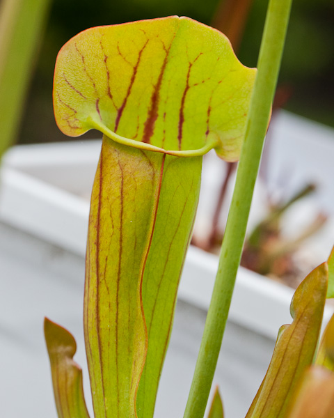 Sarracenia oreophila x purpurea by The Carnivore Girl