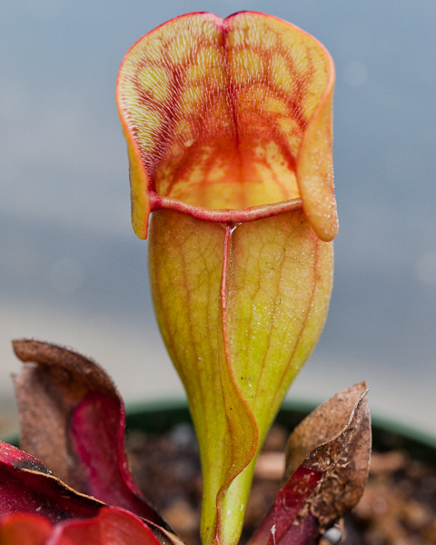 Sarracenia purpurea by The Carnivore Girl