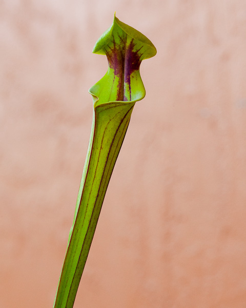 "Sarracenia flava ""Extreme Red Thoat"" by The Carnivore Gril"