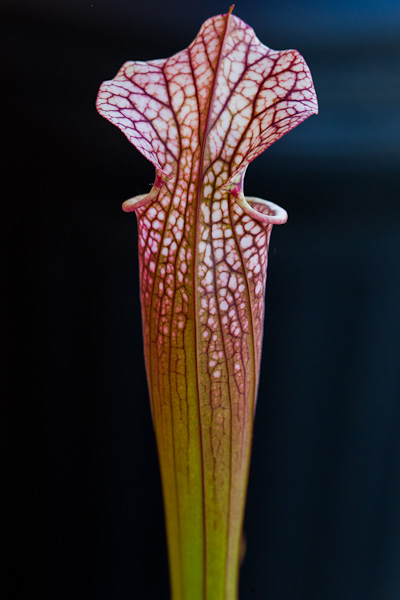 Sarracenia Leah Wilkerson x Adrian Slack by The Carnivore Girl