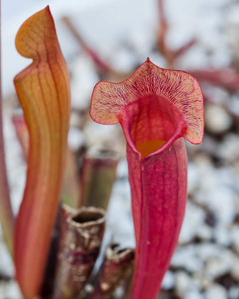 sarracenia-pitcher-plant-purpurea-hybrid-1