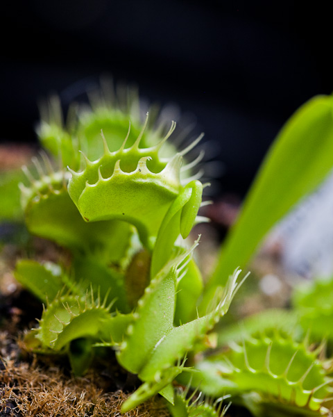 Fused Tooth Venus flytrap by The Carnivore Girl