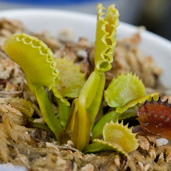 Venus flytraps by The Carnivore Girl