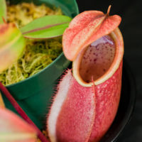 Nepenthes. Bay Area Carnivorous Plant Show and Sale 2016. By The Carnivore Girl