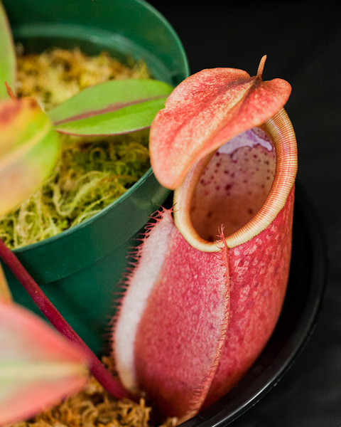carnivorous plants essay Carnivorous plants in a world where plants are at the bottom of the food-chain, these insectivorous plants, the evolution of carnivorous plants movies and reviews.