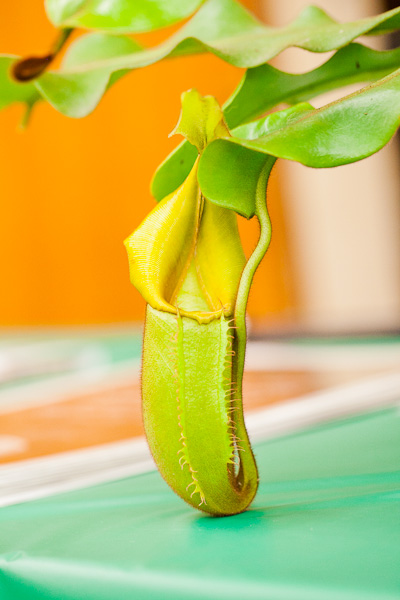Nepenthes veitchii Bay Area Carnivorous Plant Show and Sale 2016. By The Carnivore Girl