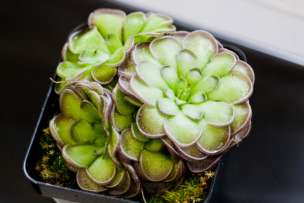 Pinguicula. Bay Area Carnivorous Plant Show and Sale 2016. By The Carnivore Girl