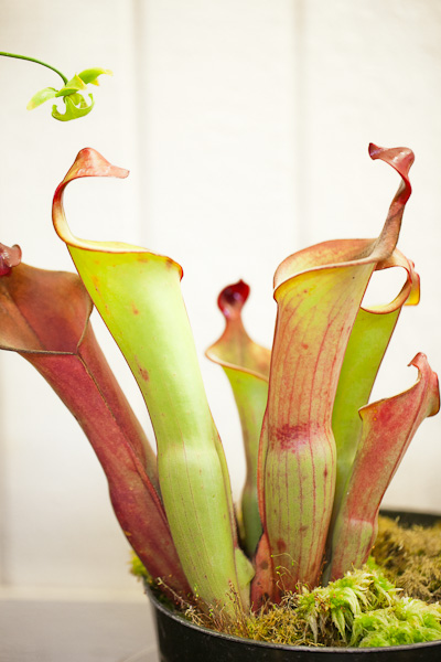 Heliamphora. Bay Area Carnivorous Plant Show and Sale 2016. By The Carnivore Girl