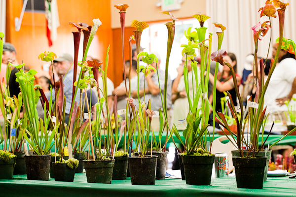 Sarracenia table. Bay Area Carnivorous Plant Show and Sale 2016. By The Carnivore Girl
