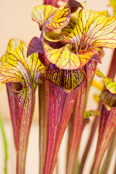 Sarracenia. Bay Area Carnivorous Plant Show and Sale 2016. By The Carnivore Girl