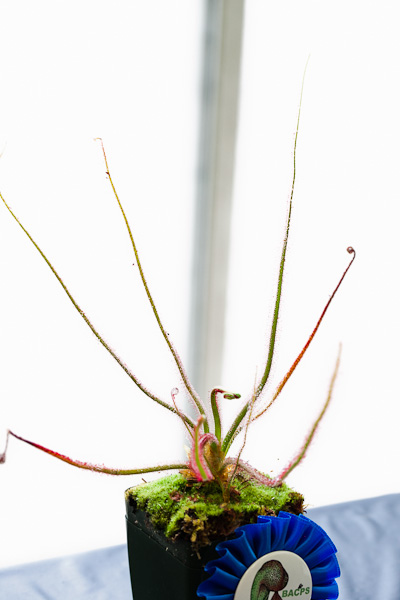 Drosera spiralis. Bay Area Carnivorous Plant Show and Sale 2016. By The Carnivore Girl